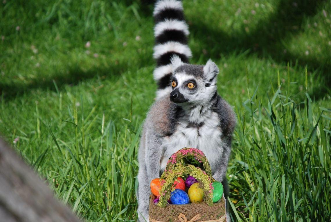 lemur egg.jpg