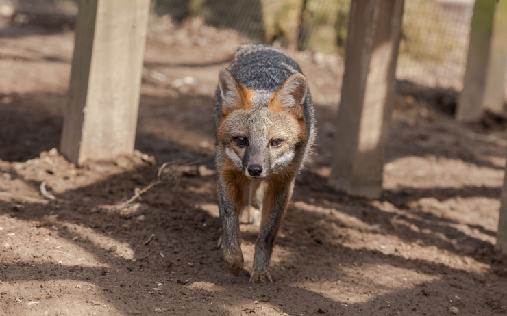 NEW AT THE ZOO  - GRAY FOX