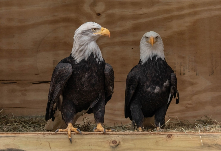 NEW AT THE ZOO - BALD EAGLES