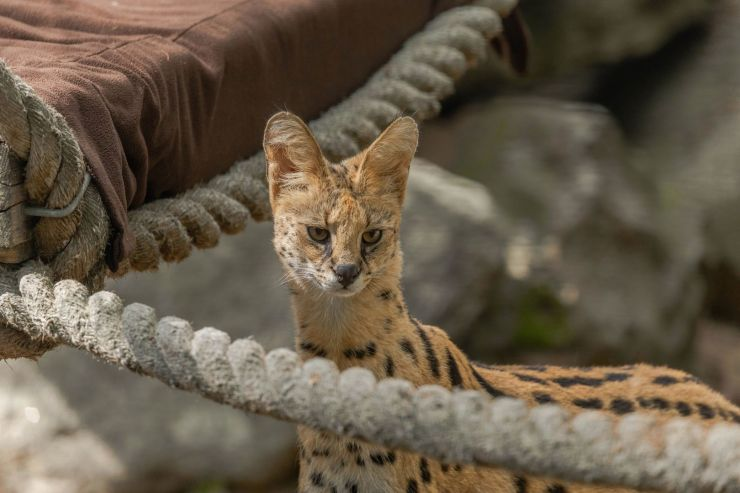 New at The Zoo - Servals