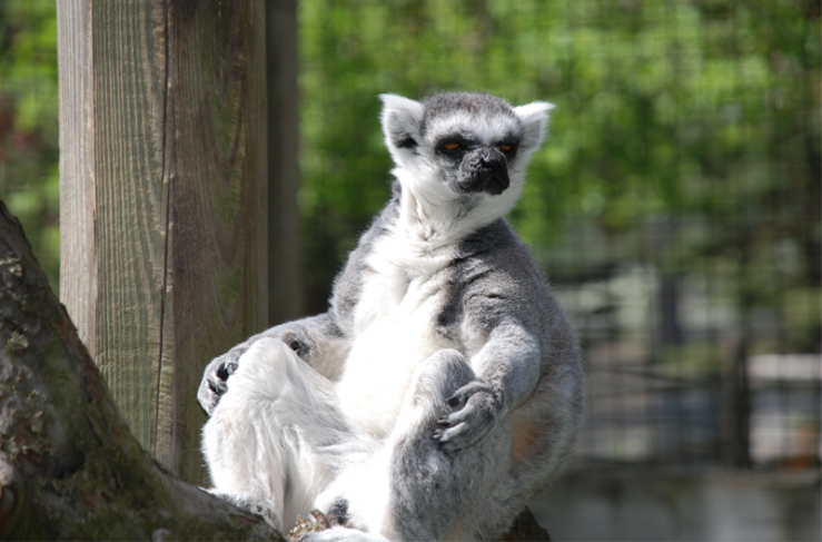 ring tailed lemur the zoo in forest park